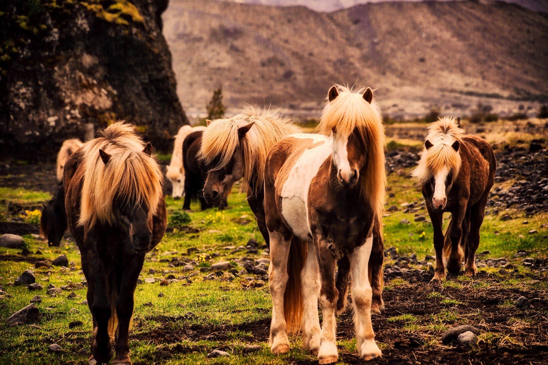 Shetlandponys – alles über die kleinen Ponys