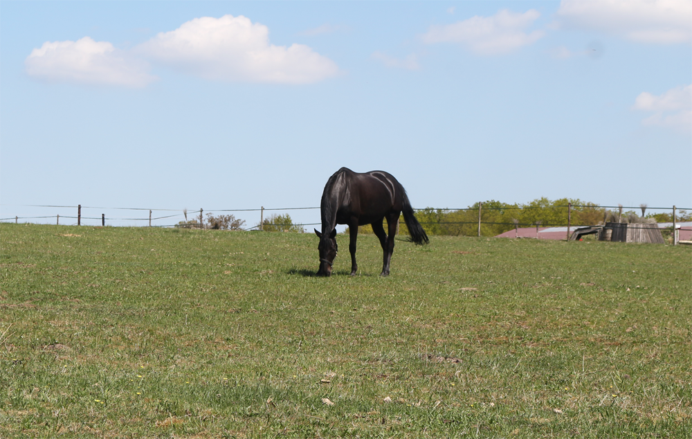 Holsteiner oder Hannoveraner – die Unterschiede