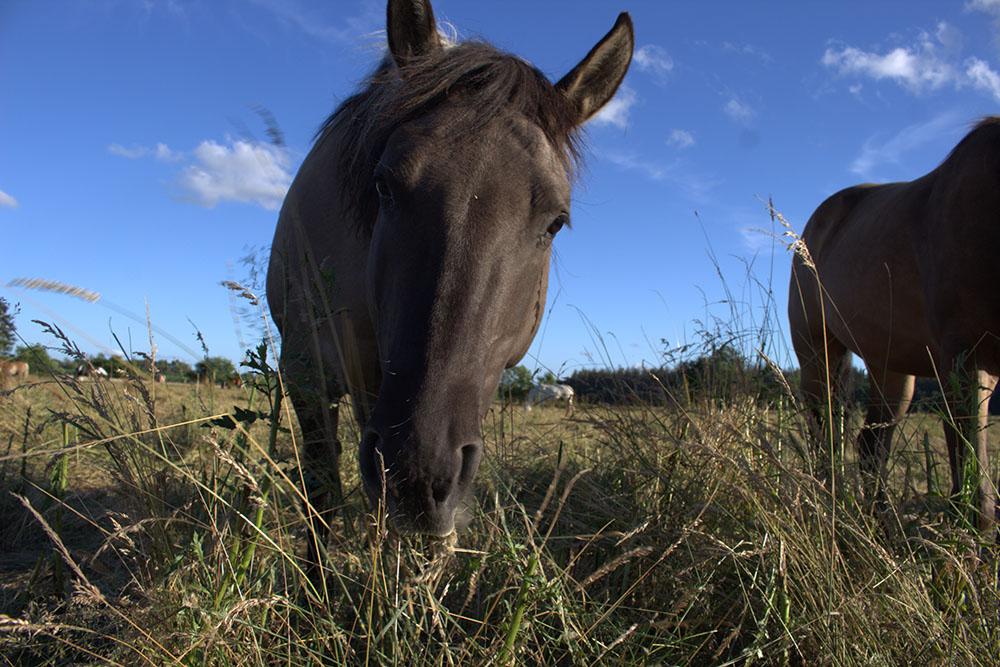 Wie verhält sich ein dominantes Pferd?